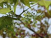 植物課-青楓:照片03 (04).jpg