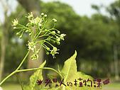 植物課-青楓:照片03 (05).jpg