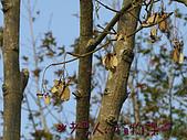 植物課-青楓:照片01 (01).jpg