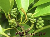 植物課-蘭嶼烏心石:照片05 (01).jpg