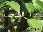 植物課-蘭嶼烏心石:照片06 (01).jpg