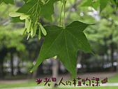 植物課-青楓:照片04 (02).jpg