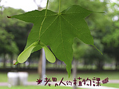 植物課-青楓:照片04 (03).jpg