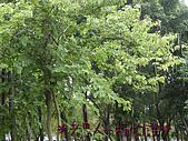 植物課-洋紫荊:照片11 (02).jpg