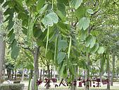 植物課-洋紫荊:照片12 (01).jpg