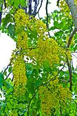 花。黃金雨。阿勃勒:IMG_4449.jpg