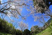 櫻。陽明山花季:IMG_0331.jpg