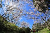 櫻。陽明山花季:IMG_0338.jpg