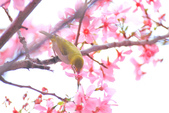 櫻。希望之河:IMG_8367.jpg