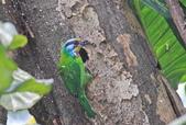 五色鳥。:IMG_10242.jpg