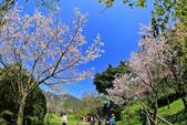 櫻。陽明山花季:IMG_14867.jpg