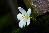 花。五月雪油桐花:IMG_0482.jpg