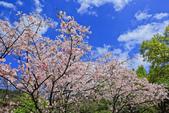 櫻。陽明山花季:IMG_14882.jpg