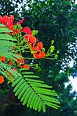 花。鳳凰木:IMG_4545.jpg