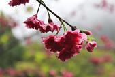 九族。櫻花季:IMG_46513.jpg