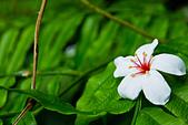 花。五月雪油桐花:IMG_0437.jpg