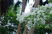 花。四月雪流蘇:IMG_4120.jpg