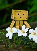 花。五月雪油桐花:IMG_0457.jpg