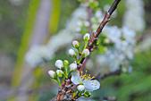 春。李花:IMG_7529.jpg