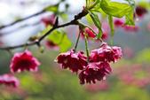 九族。櫻花季:IMG_46515.jpg