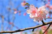 櫻。屈尺公園:IMG_7537.jpg