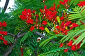 花。鳳凰木:IMG_4546.jpg