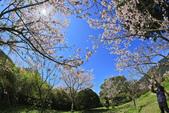 櫻。陽明山花季:IMG_0330.jpg
