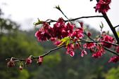 九族。櫻花季:IMG_46516.jpg