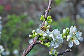 春。李花:IMG_7530.jpg