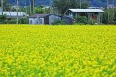花東縱谷。油菜花:IMG_12441-7.jpg