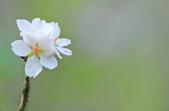 櫻。陽明山:IMG_8662.jpg