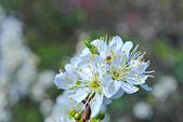 春。李花:IMG_7539.jpg