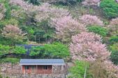 櫻。陽明山:IMG_8755.jpg