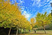 武陵。銀杏:IMG_11865.jpg