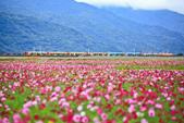 花東縱谷。油菜花:IMG_12470-36.jpg