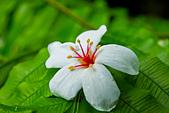 花。五月雪油桐花:IMG_0438.jpg