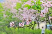 櫻。三生步道:IMG_8401.jpg