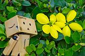 花。黃金雨。阿勃勒:IMG_4461.jpg