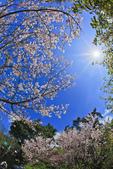 櫻。陽明山花季:IMG_0297.jpg