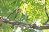 五色鳥。:IMG_10196.jpg