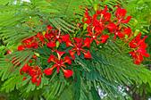 花。鳳凰木:IMG_4531.jpg
