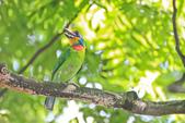 五色鳥。:IMG_10191.jpg
