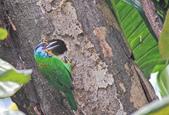 五色鳥。:IMG_10244.jpg
