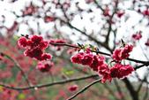 九族。櫻花季:IMG_46519.jpg