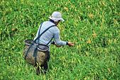 六十石山の金針花季。:IMG_10574.jpg