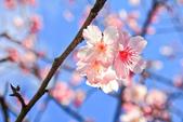 櫻。屈尺公園:IMG_7536.jpg