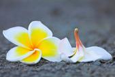 雞蛋花。:IMG_9471.jpg