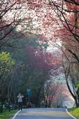 櫻。滬尾櫻花大道:IMG_14780.jpg