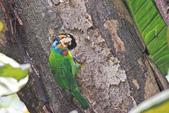 五色鳥。:IMG_10235.jpg