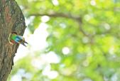 五色鳥。:IMG_10211.jpg